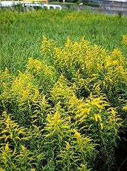 秋の花粉症について , 健康コラム